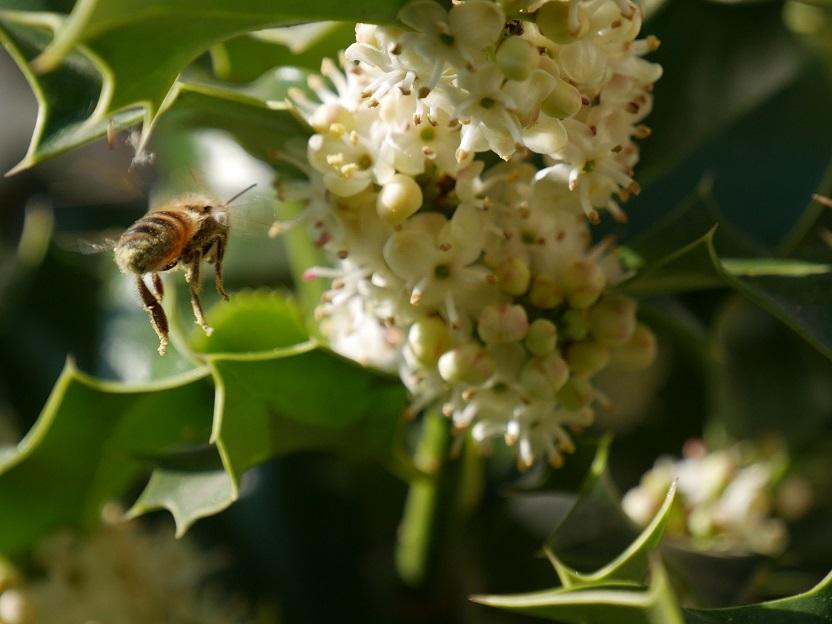 Les abeilles sont Houx A210