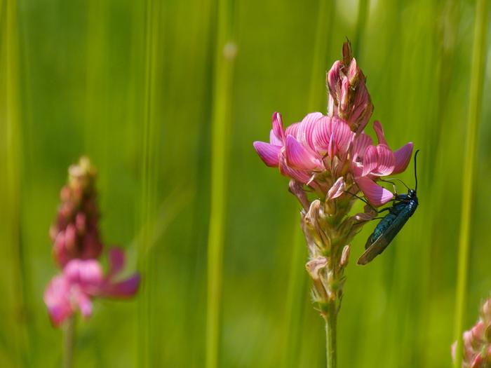 Fleur rose et insecte bleu Martin11