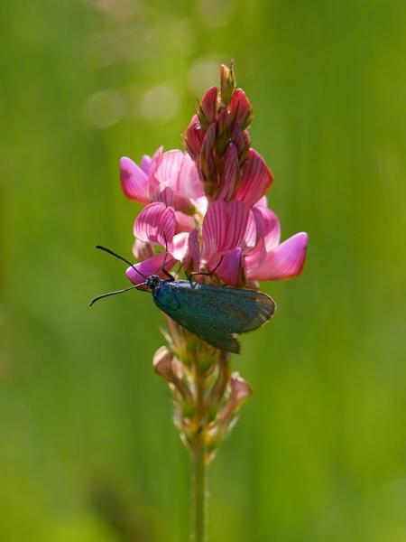 Fleur rose et insecte bleu Martin14