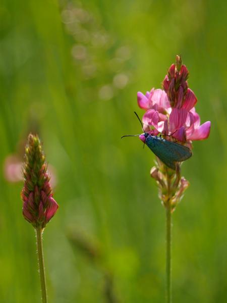 Fleur rose et insecte bleu Martin16