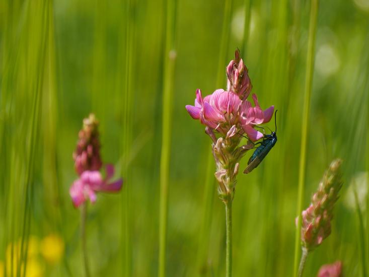 Fleur rose et insecte bleu Martin17