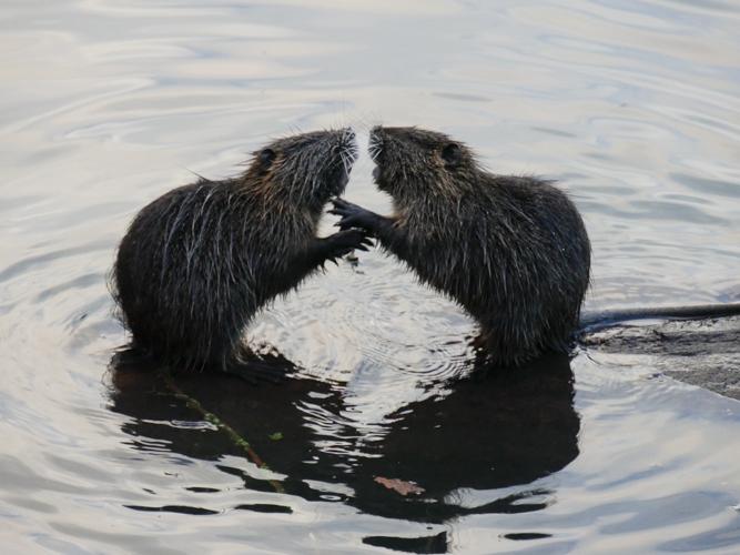 Bataille au bord de l'eau Ragond10