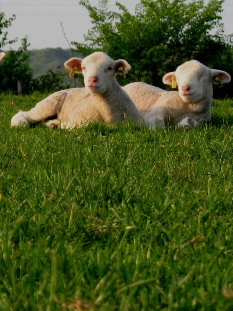 Aller un petit voyage chez les laineux.... Img_2316