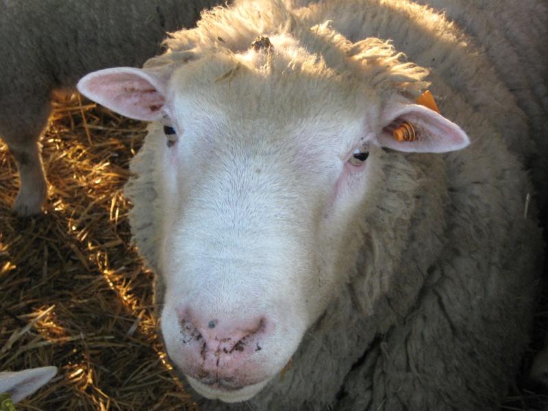 Aller un petit voyage chez les laineux.... Img_2326