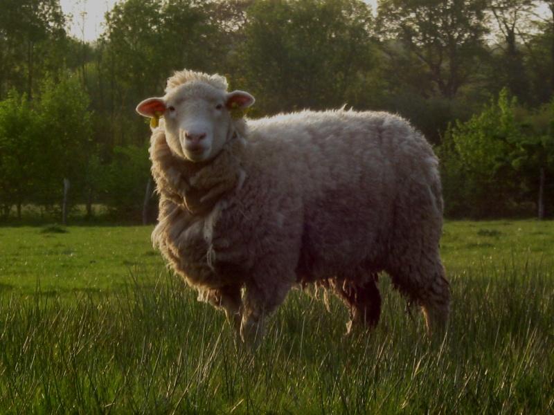 Aller un petit voyage chez les laineux.... Img_2329