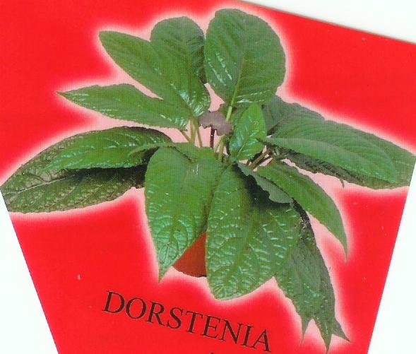 Quel est ce Dorstenia ? Dorste10
