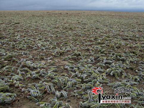 Plaga de gusanos no identificados en China. Con foto Gusano10