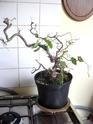 Ou trouver des bonsais indigénes en belgique? 44_00110