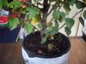 Ou trouver des bonsais indigénes en belgique? 99_00111