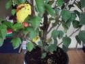 Ou trouver des bonsais indigénes en belgique? 99_00211