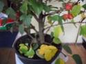 Ou trouver des bonsais indigénes en belgique? 99_00311