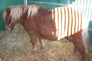 IPEO - ONC poney typé Shetland - adopté en février 2010 par Chloé 100_0610