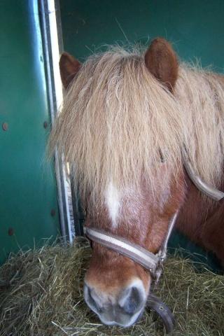 IPEO - ONC poney typé Shetland - adopté en février 2010 par Chloé Ipao11