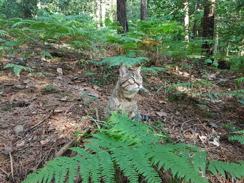 Idina, femelle tigrée, née le 01/01/13, chatte libre à Scaer 20180711
