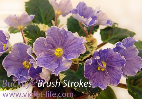 Buckeye Brush Strokes   Бакай  Браш Строукс Buckey11