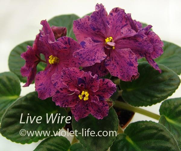 Live Wire (Sorano) Live_w10