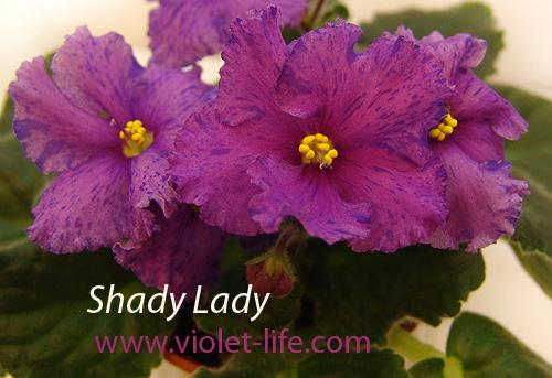 Shady Lady  (Шэйди Лэйди) Shady_10