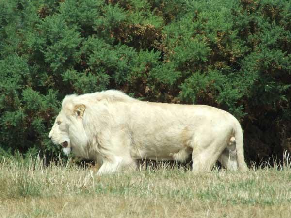 Images à volonté Lion_b10