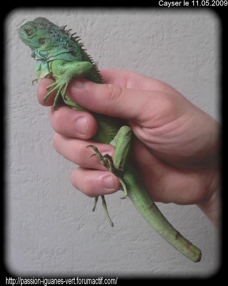 stop aux achats impulsifs d'iguane vert!!!!! 05110910
