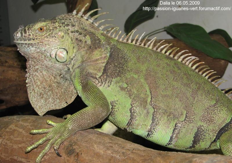 stop aux achats impulsifs d'iguane vert!!!!! Img_3129