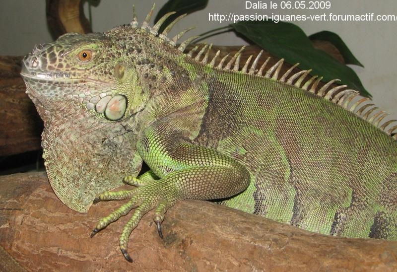 stop aux achats impulsifs d'iguane vert!!!!! Img_3131