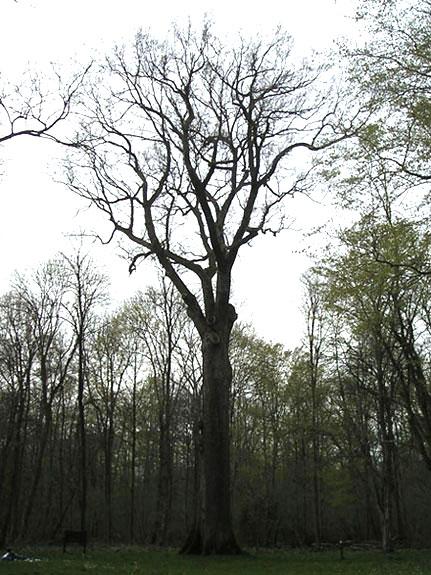 Chêne Geneau  forêt de Coucy Basse dans l'Aisne Chene_10