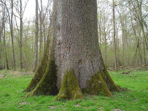 Chêne Geneau  forêt de Coucy Basse dans l'Aisne Chene_11