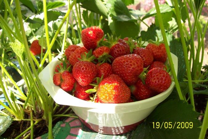 framboisier et fraisiers Fraise10