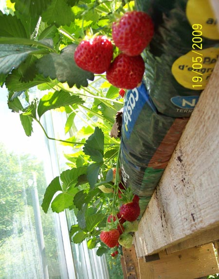 framboisier et fraisiers Fraisi10