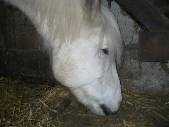 DIABOLO  - OI Poney - né en 1991 - adopté en novembre 2009 par Gaëlle Diabol11