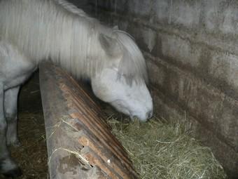 DIABOLO  - OI Poney - né en 1991 - adopté en novembre 2009 par Gaëlle Diabol12