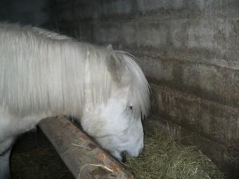 DIABOLO  - OI Poney - né en 1991 - adopté en novembre 2009 par Gaëlle Diabol13