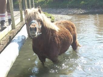 IPEO - poney ONC typé Shetland né en 2000 - adopté en mars 2009 par Anaïs  - Page 2 Ipeo_a10