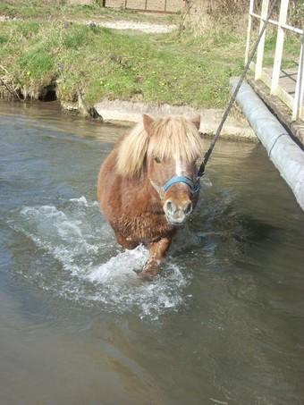 IPEO - poney ONC typé Shetland né en 2000 - adopté en mars 2009 par Anaïs  - Page 2 Ipeo_a11