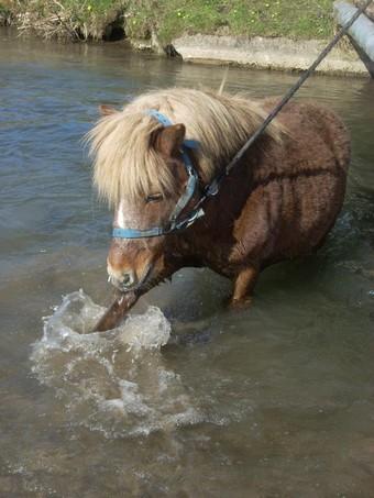 IPEO - poney ONC typé Shetland né en 2000 - adopté en mars 2009 par Anaïs  - Page 2 Ipeo_a12