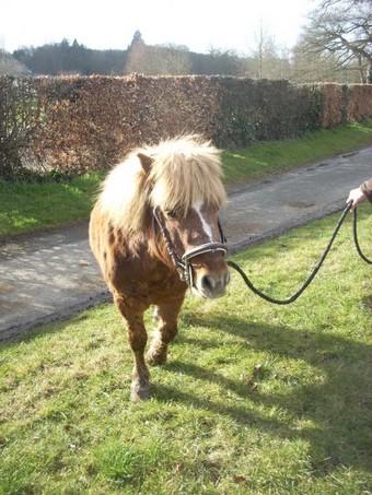 IPEO - poney ONC typé Shetland né en 2000 - adopté en mars 2009 par Anaïs  - Page 2 Ipeo_c10