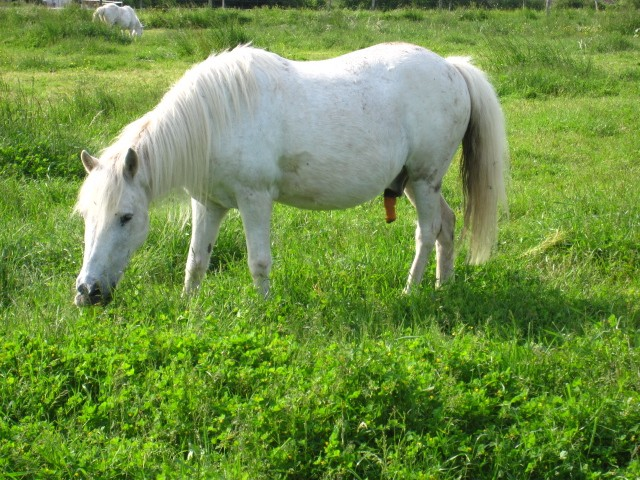 ULYSSE - OI Poney typé Shetland né en 1984 - adopté en juillet 2009  Ulysse11