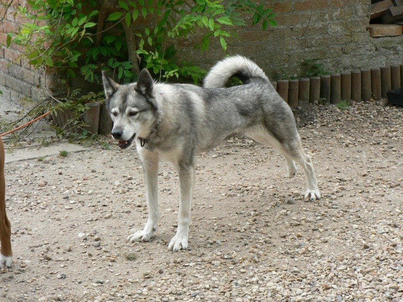 PIIA femelle husky  11 ANS CHEZ KEERO 45  ADOPTEE P1190014
