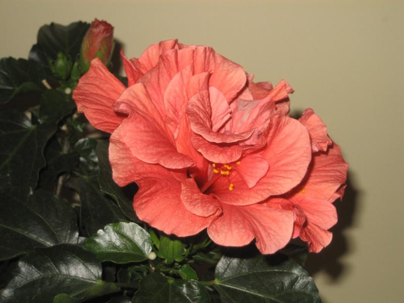 Hibiscus syriacus 'Freedom' Img_0415