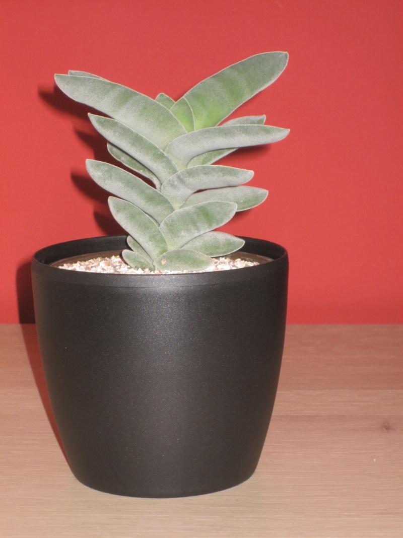 Crassula Perfoliata Img_0416
