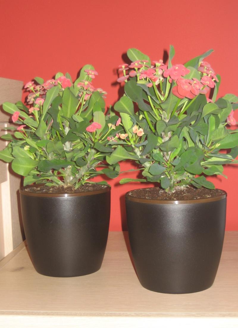 Euphorbia Milii Img_0417