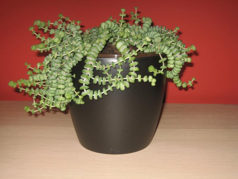 Crassula Rupestris ssp. Marnieriana Img_0517