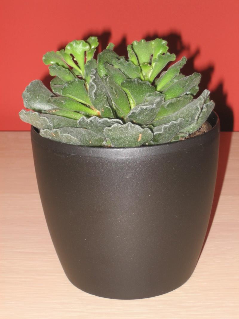 Adromischus Cristatus ssp. Cristatus Img_0519