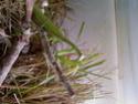 La Mante Religieuse(mantis religiosa) Photo-10