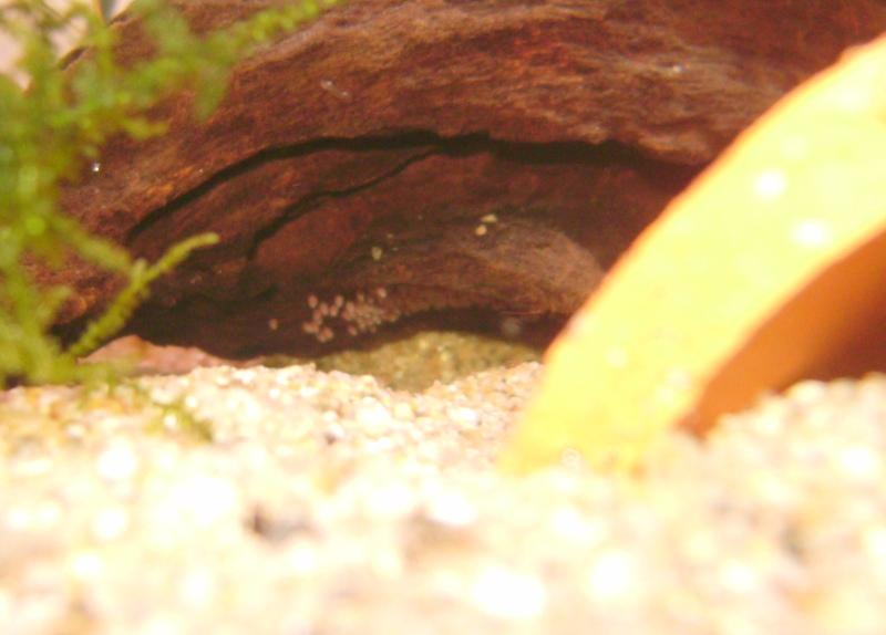 Quelques repro de cichlidés nains 411