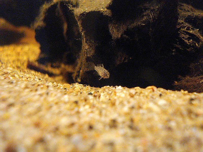 Quelques repro de cichlidés nains Dsc01915