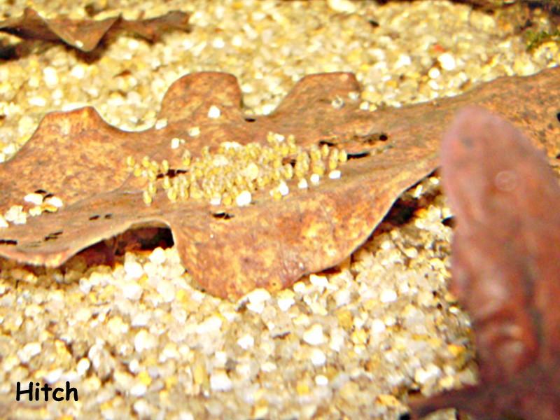 Quelques repro de cichlidés nains Imgp0065