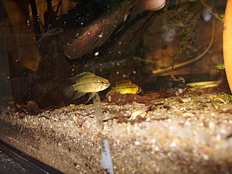 Quelques repro de cichlidés nains Imgp0102