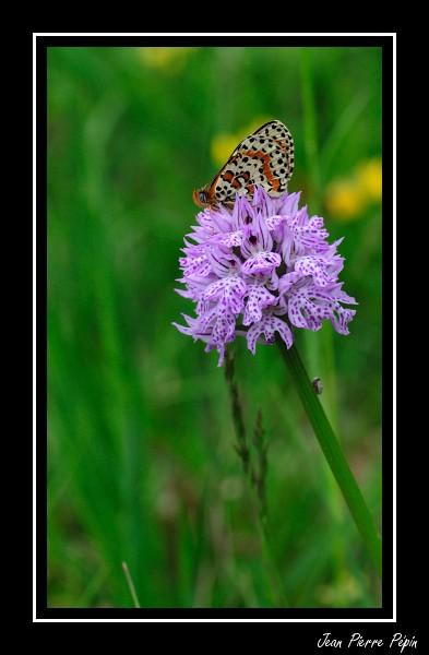 Neotinea tridentata ( Orchis tridenté ) M_did_10
