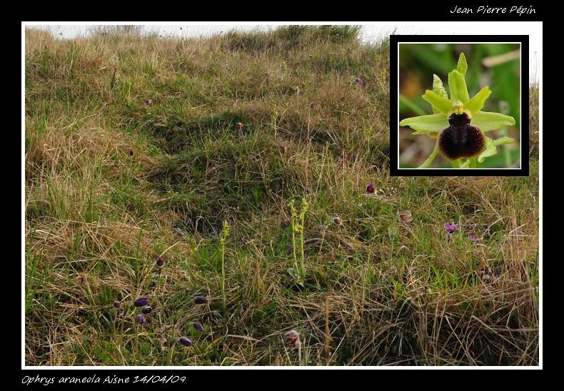 Ophrys litigiosa ( araneola ) Oph_ar11